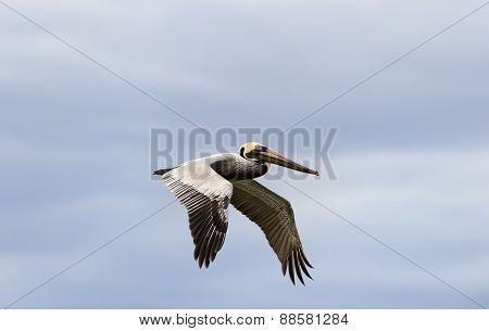Pelican Flying Closeup  Head And Wings