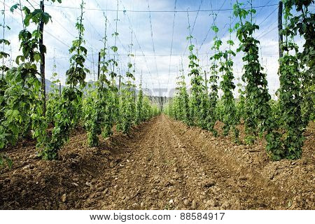 Hops Field. Arable Land. Thousand Of Plants Growing To Make Beer.
