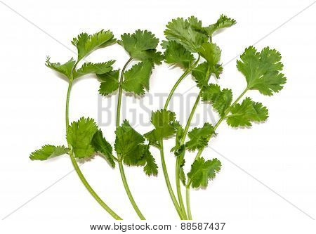 Branches Of Coriander