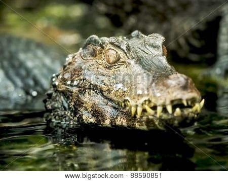 Close up of a caiman in water
