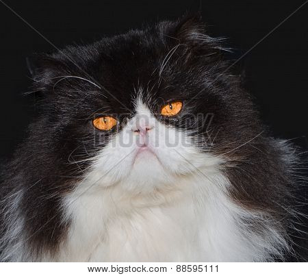 Portrait Of Black And White Persian Cat