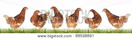 Chicken-laying Hens