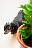 picture of dachshund dog  - funny dachshund dog standing on the floor in the room. top view. portrait close-up. green house plant near to a dog