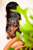 image of dachshund dog  - funny dachshund dog standing on the floor in the room - JPG