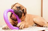 foto of toy dogs  - junior puppy bullmastiff lying on a rug in the house - JPG