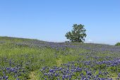 pic of bluebonnets  - A Texas hill covered in bluebonnets in the spring - JPG
