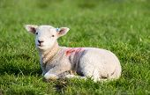 pic of spring lambs  - Spring Lamb lying in field in evening sun - JPG
