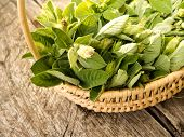 picture of salvia  - A basket filled with salvia leaves an aromatic herb often used in the mediterranean cuisine - JPG