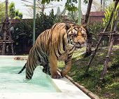 stock photo of tigress  - Tiger coming out of the pool - JPG