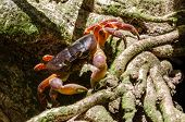 stock photo of hairy  - Hairy leg mountain crab at tachi island - JPG
