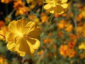 image of cosmos flowers  - Yellow Field Of Cosmos - JPG