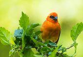 foto of cardinal-bird  - Vivid birds of Seychelles  - JPG