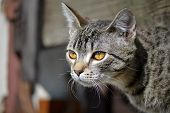 picture of tabby-cat  - detail of head gray tabby cat with big brown eyes - JPG
