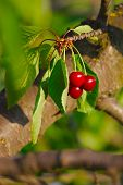 picture of cherry  - Cherry on the tree - JPG