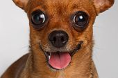 stock photo of white terrier  - Closeup Smiling Brown Toy Terrier with big eyes on White Background - JPG