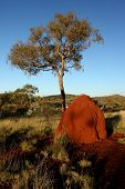 image of termite  - Deep red Termite mound and tree in late afternoon at Karijini National Park Western Australia - JPG