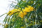 picture of mimosa  - yellow flowers of mimosa tree  - JPG