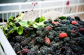 pic of mulberry  - Close up for group of organic mulberry - JPG
