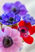 image of dainty  - Stunning Anemone flowers red, blue, pink and purple. Gorgeous small dainty flowers that always please. ** Note: Shallow depth of field - JPG
