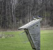 stock photo of swallow  - Swallows courting on top of a wooden bird box - JPG