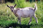 stock photo of pygmy goat  - A gray spotted goat on a background of grass - JPG