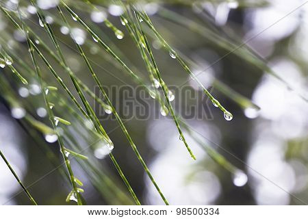 Pineneedles and Raindrops