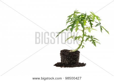 Papaya tree early growing stage isolated on white