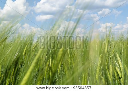 View Of The Horizon And The Sky With Clouds Through The Green Ears Of Wheat (rye) In The Field