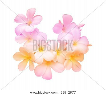 Beauty colorful of Frangipani or Plumeria flowers.