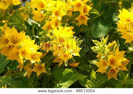 Shrub With Yellow Flowers In The Summer