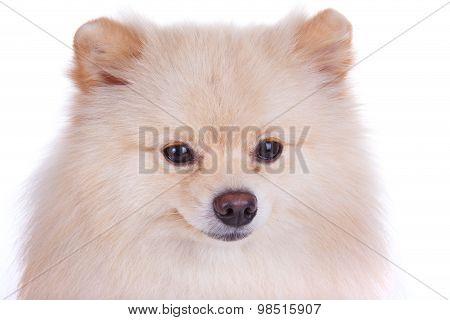 White Pomeranian Dog Close Up Face