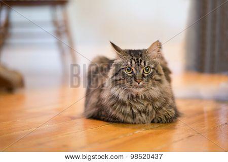 Closeup To A Resting Cat Inside