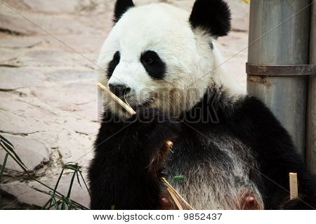 cute giant panda in the zoo of chiangmai