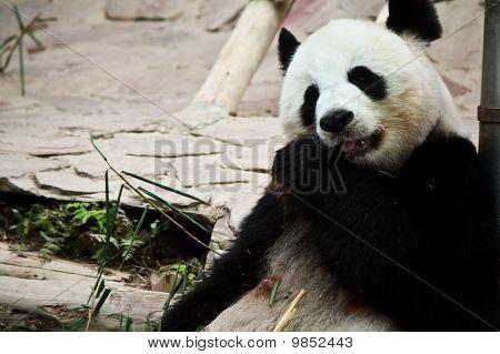 lindo panda gigante en el zoo de Chiang Mai, Tailandia