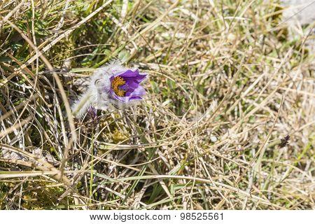 Pulsatilla Slavica G. Reuss (anemone Slavica G.reuss)