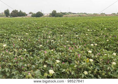 Cotton Plantation In Flower