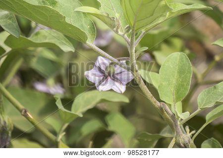 Eggplant Flower, Aubergine