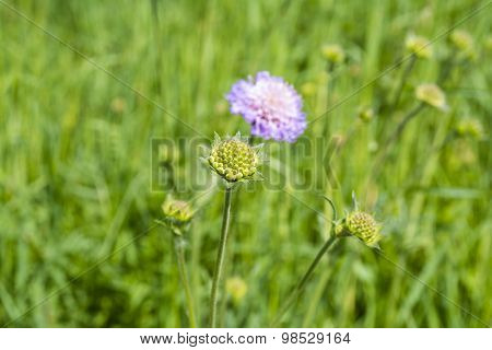 Shoot Flower - Field Scabious (knautia Arvensis)