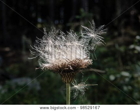 White and flutty thistle seeds