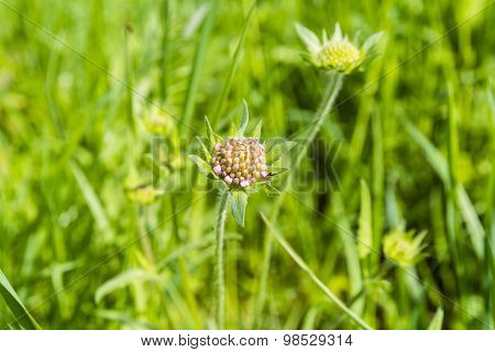 Young Shoot Flower - Field Scabious (knautia Arvensis)