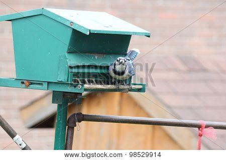 Blue Jay (Cyanocitta cristata) on Feeder