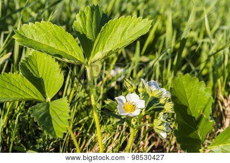 Strawberries Bloomed Flowers