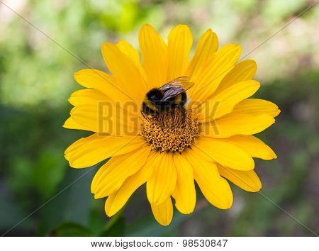 Bee Pollinates A Flower Yellow Daisy. Flowers And Gardens