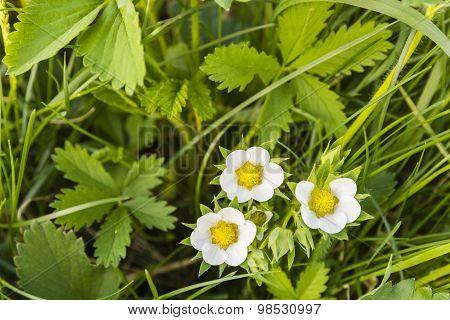 White Flowers Strawberries