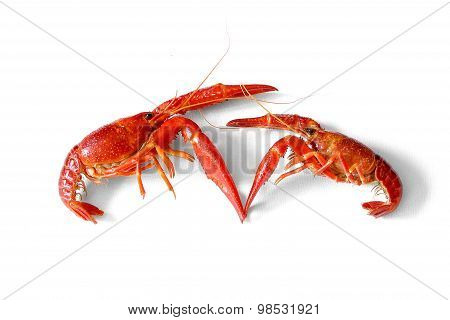 Fighting Two Crayfish Red European