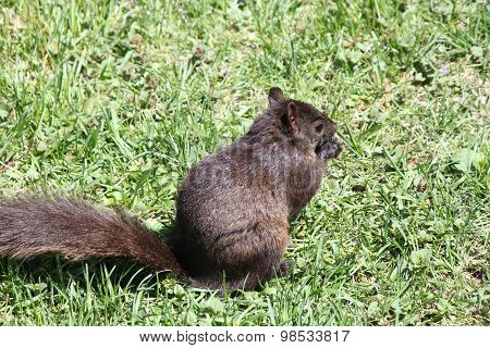Squirrel, Black-(Sciurus carolinensis)