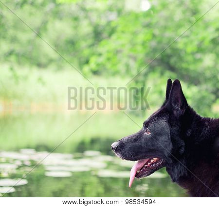 Black German Shepherd Outdoors. Space For Text.