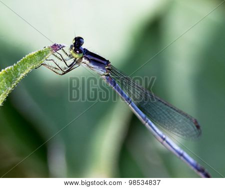 Juvenile Dragonfly