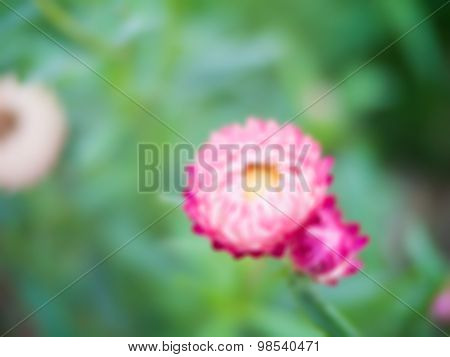 Blurred Helichrysum Flowers On Green Bokeh Background