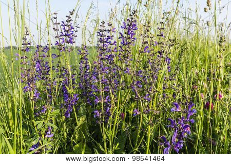 Salvia Pratensis L. (meadow Clary, Meadow Sage)